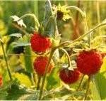 Random image: Горска ягода стрък - Fragaria vesca