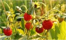 Горска ягода стрък - Fragaria vesca