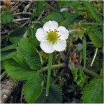 Random image: Горска ягода цвят- Fragaria vesca