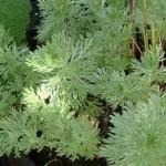 Горчив пелин лечебно растение - Artemisia absinthium