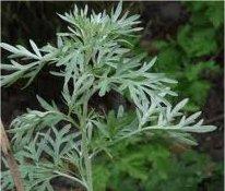 Горчив пелин стрък - Artemisia absinthium
