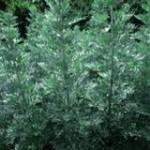 Горчив пелин - Artemisia absinthium