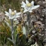 Random image: Еделвайс билка - Leontopodium alpinum