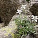 Еделвайс - Leontopodium alpinum