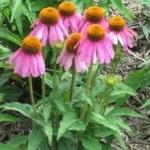 Ехинацея билка - Echinacea