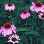Random image: Ехинацея лечебно растение - Echinacea