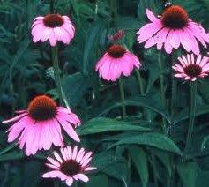 Ехинацея лечебно растение - Echinacea