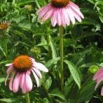 Ехинацея цвят- Echinacea