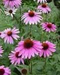 Ехинацея - Echinacea
