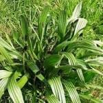 Живовлек теснолистлист - Plantago lanceolata