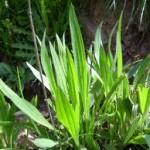 Живовлек теснолист билка - Plantago lanceolata