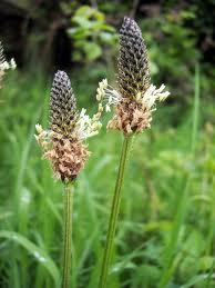 Живовлек теснолист цвят - Plantago lanceolata