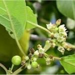 Зърнастец билка - Rhamnus frangula