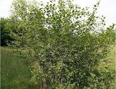 Зърнастец лечебно растение - Rhamnus frangula