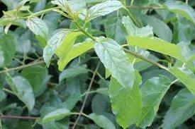 Зърнастец лист - Rhamnus frangula
