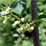 Зърнастец цвят- Rhamnus frangula