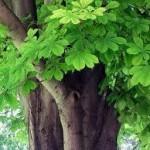Конски кестен дърво - Aesculus hippocastanum L.