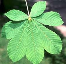 Конски кестен листа -  Aesculus hippocastanum L.
