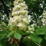 Конски кестен - Aesculus hippocastanum L.