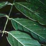Котешки нокът лечебно растение - Uncaria tomentosa