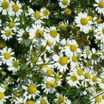 Лайка тънколистна - Matricaria chamomilla - билка