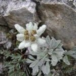 Random image: Лечебно растение Еделвайс - Leontopodium alpinum