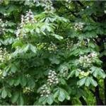 Лечебно растение Конски кестен - Aesculus hippocastanum L.