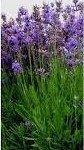 Лечебно растение Лавандула - Lavandula vera DC
