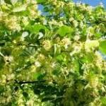 Лечебно растение Липа сребролистна - Tilia argentea Desf