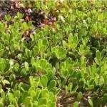Лечебно растение Мечо грозде – Arctostaphylos uva ursi