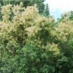 Лечебно растение Смрадлика - Cotinus coggygria Scop.
