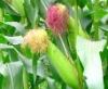 Лечебно растение Царевична коса - Stigmata Maydis