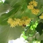 Липа сребролистна цвят- Tilia argentea Desf