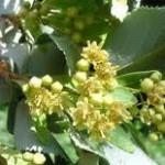 Липа сребролистна - Tilia argentea Desf