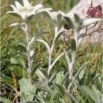 Силата на природата Еделвайс - Leontopodium alpinum