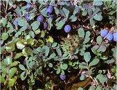 Синя боровинка лечебно растение - Vaccinium uliginosum