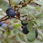 Синя боровинка плод - Vaccinium uliginosum