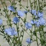Синя жлъчка билка - Cichorium Intybus