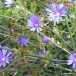 Синя жлъчка - Cichorium Intybus