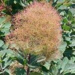 Смрадлика билка - Cotinus coggygria Scop.