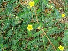 Трабузан билка - Tribulus terrestris
