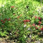 Random image: Червена боровинка билка - Vaccinium vitis-idaea L.