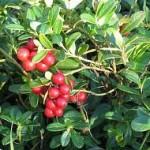 Червена боровинка лечебно растение - Vaccinium vitis-idaea L.