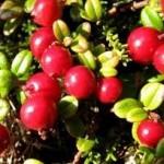 Random image: Червена боровинка плод - Vaccinium vitis-idaea L.