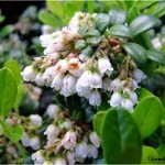 Random image: Червена боровинка цвят - Vaccinium vitis-idaea L.