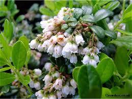 Червена боровинка цвят - Vaccinium vitis-idaea L.