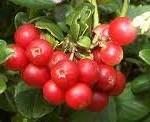 Червена боровинка - Vaccinium vitis-idaea L.