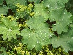 Шапиче лист - Alchemila vulgaris L.