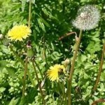 Глухарче билка - Taraxacum officinale