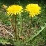 Глухарче в градината - Taraxacum officinale